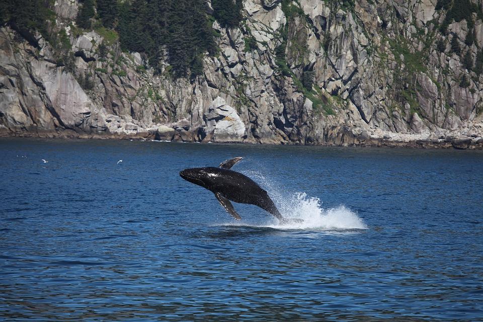 pêche baleines