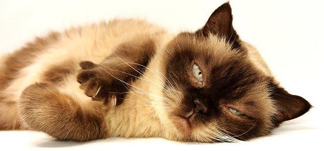 Les maladies fréquentes du chat